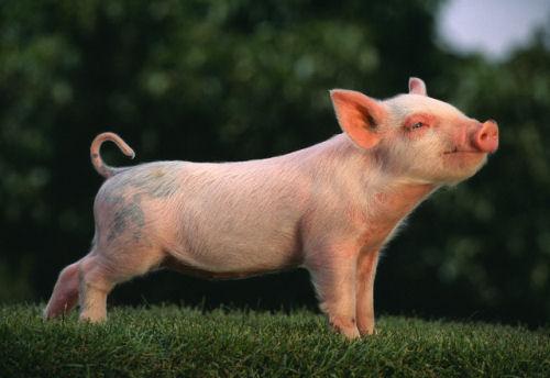 Гороскоп — Свинья