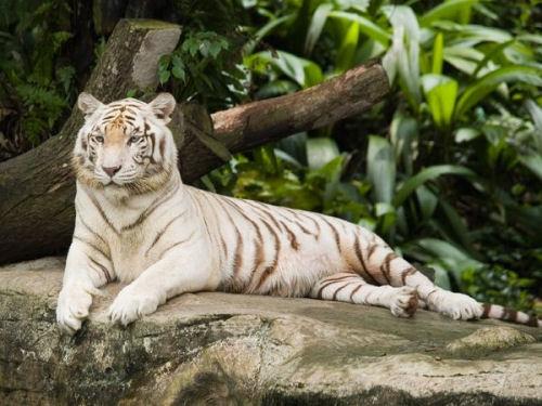 Гороскоп — Тигр
