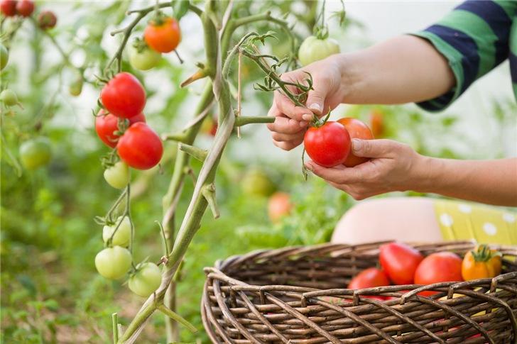 Полезные советы по выращиванию помидоров